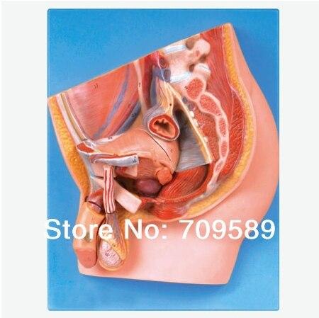 Deluxe hombre pelvis (4 partes), anatomía sección mediana de la ...