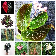100 Pcs/ Bag Rare Color Begonia Bonsai Balcony Flower, Indoor Blooming Plants Radiation Protection Potted Plant, Easy to Grow(China)