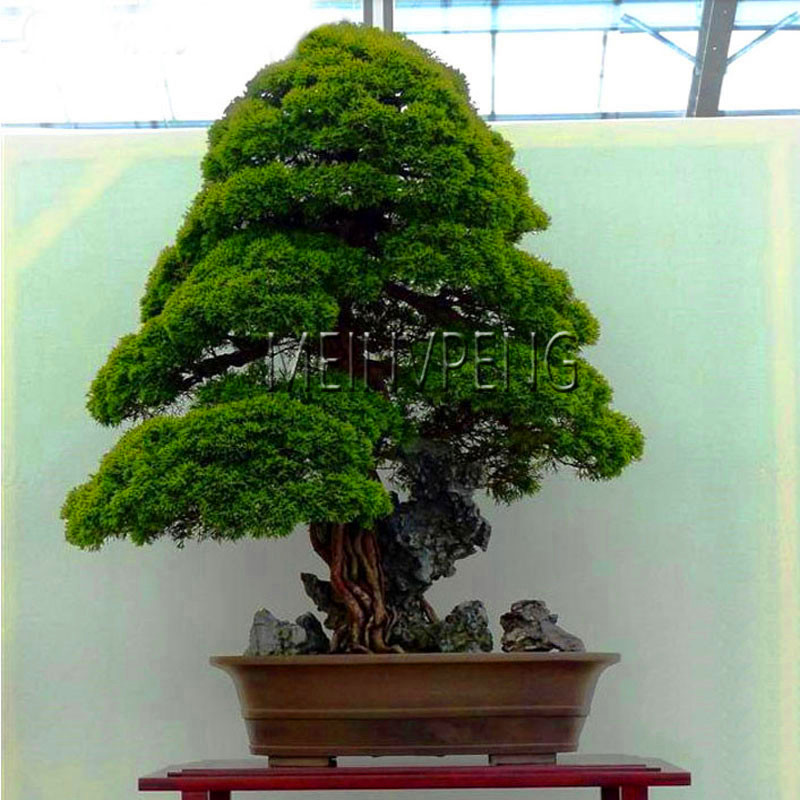 Lowest Price!100% True Sacred Japanese Cedar tree bonsai plant fir plant, home gardens, Free Shipping 100flores(China)