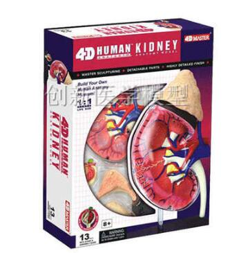 The 4D kidney anatomical model consists of 13 partsThe 4D kidney anatomical model consists of 13 parts
