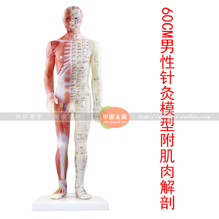 Male Human Acupuncture Points&Muscle Model Acupuncture Point Model Chinese body model for acupuncture point Muscle anatomy model skin block model 26 points displayed human skin anatomical model skin model