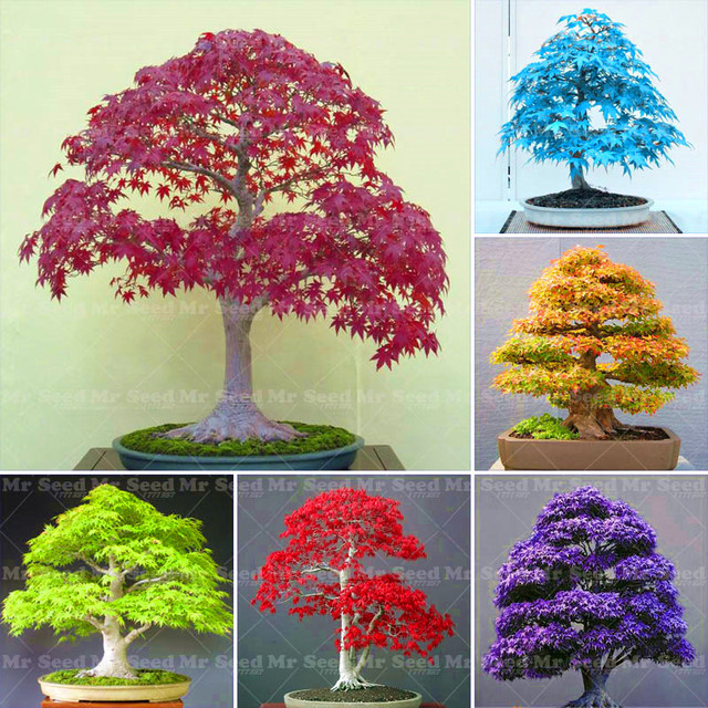 10PCS Potted Plant Seeds 100% True Japanese Red Maple Bonsai Tree ...