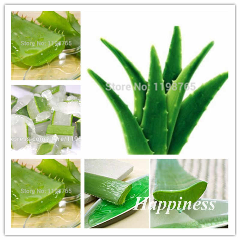 Sale! 200 Pcs Green Aloe Vera Bonsai Plants Edible Beauty Cosmetic Vegetables And Fruit Bonsai Herb Tree Plant For Home & Garden