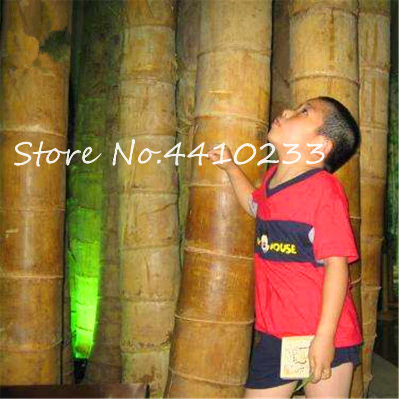 Sale ! 100 Pcs Rare Gaint Bamboo Bonsai Outdoor Moso Tree Plant For Home Garden Decoration Pot Herb Planter Fresh Air Free Ship