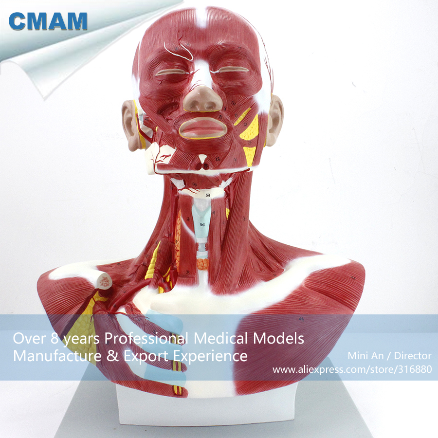 12029 / Anatomical Model Of Thoracic And Neck Muscle , Medical Science Educational Teaching Anatomical Models12029 / Anatomical Model Of Thoracic And Neck Muscle , Medical Science Educational Teaching Anatomical Models