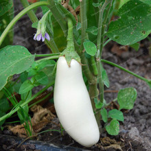 50pcs Organic White Eggplant Seeds