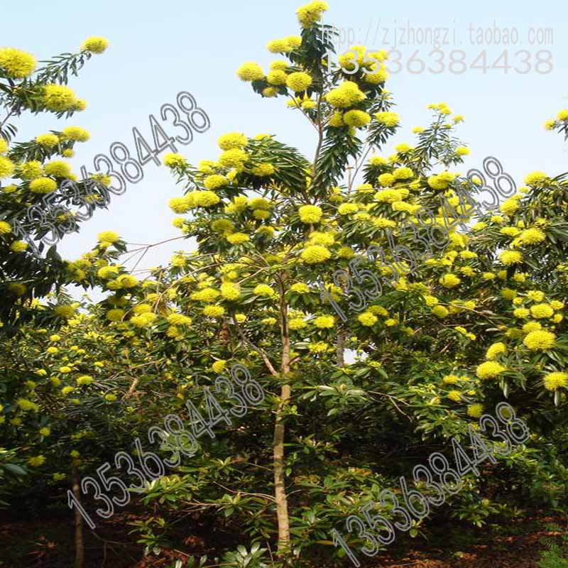 Australia imported tree species gold syzygium yellow golden panda getsubject aeproducttsubject mightylinksfo Gallery