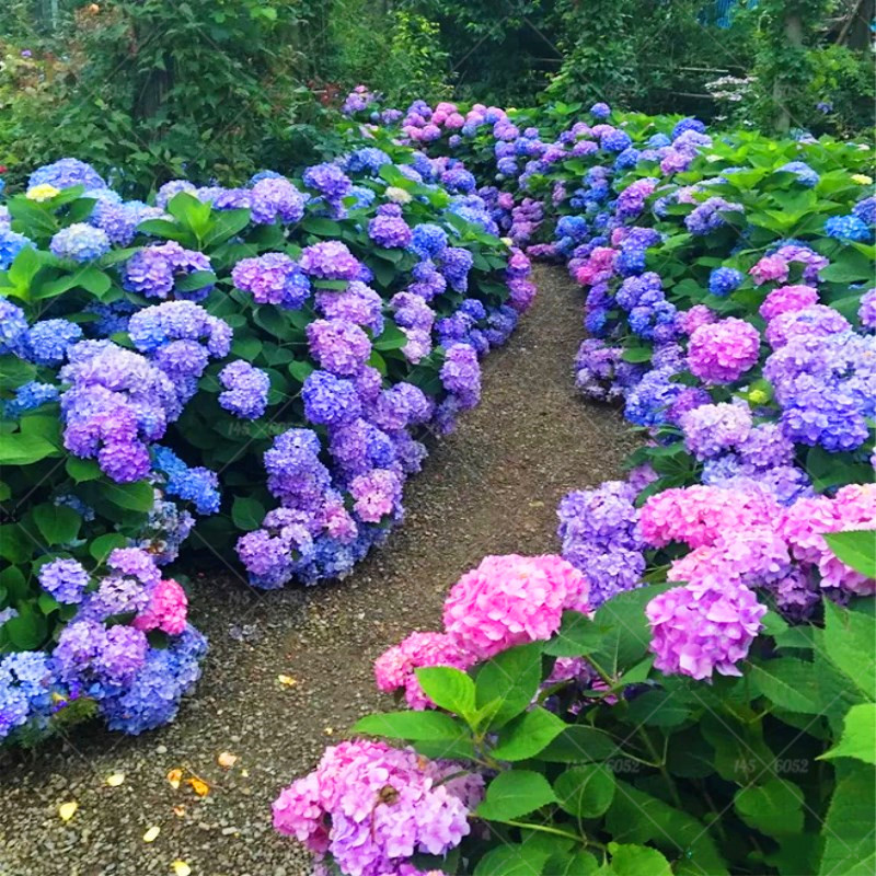 10 pcs Rare True Hydrangea seeds,blue hydrangea,China hydrangea flower seeds,bonsai seeds for home garden plants.Free shopping