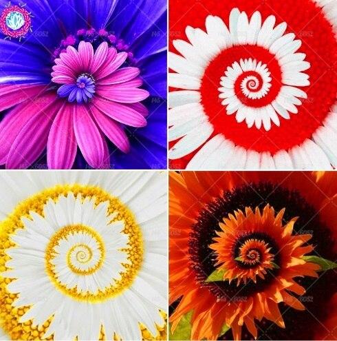40 pz/borsa Margherita semi di fiori Rari Perenni piante In Vaso per interni per