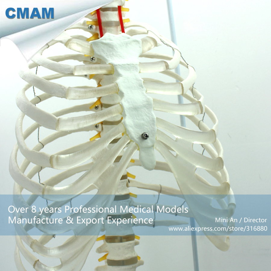 12379 CMAM SPINE06 Life Size Human Sternum Skeleton Model with ...