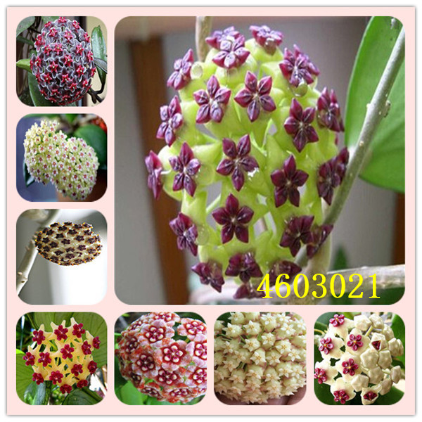 50pcs Bonsai Hoya Potted Carnosa Flower Garden Plants Perennial Planting It Is Easy To Plant Ornamental With High Survival Rate Supplement The Vital Energy And Nourish Yin Bonsai