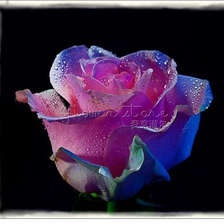 Редкие голубые розы семена фото