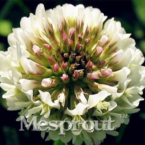 ᐅVente chaude 500 PCS Particules Trifolium Repens Graines Maison ... c1f6d85ce7c