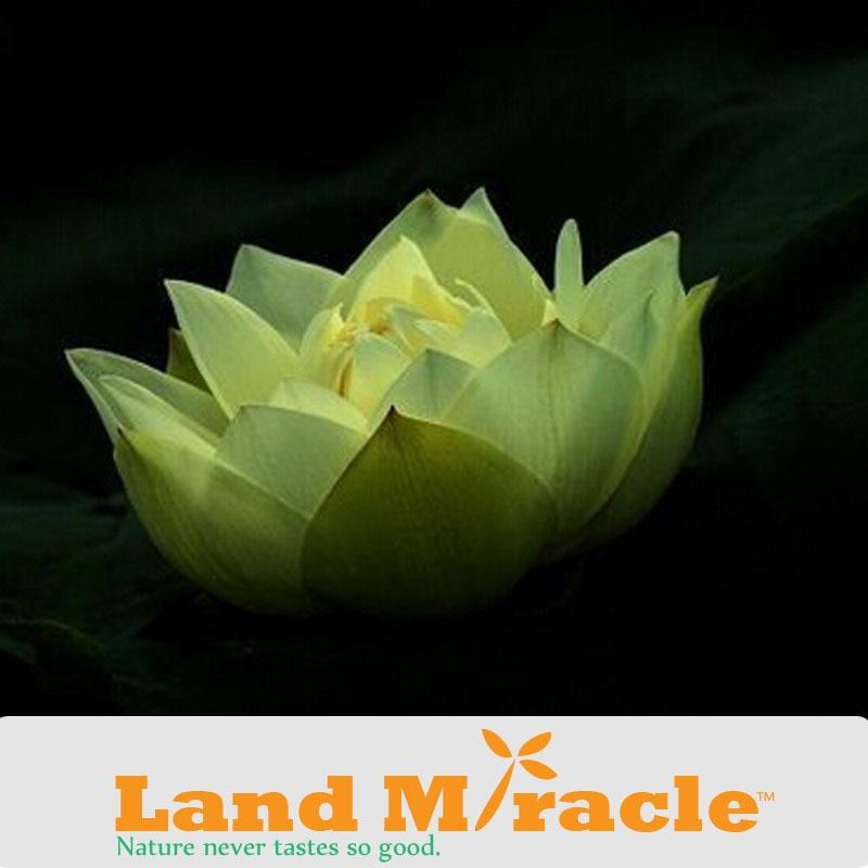 Night Lights Green Lotus Seeds 1 Seedspack Hydrophilous Plant