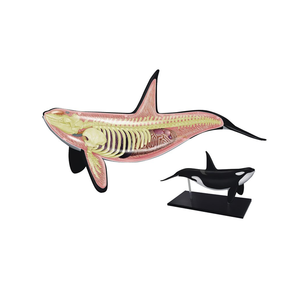 4D Master human esqueleto anatomia Orca Whale skeleton maqueta pie ...