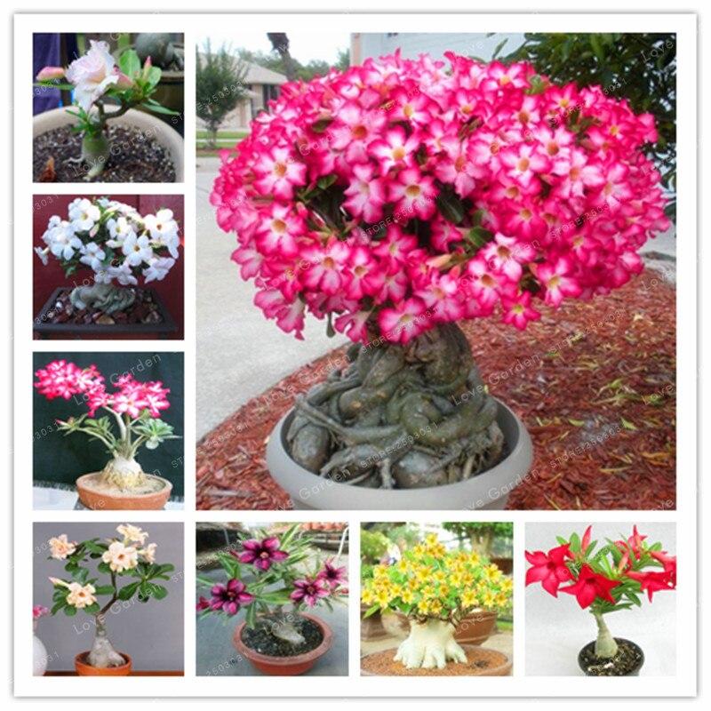 Desert Rose Bonsai Potted Flowers Bonsai  Adenium Obesum Indoor Bonsai Plant Mini Potted Tree For Home Garden Plant 1 Pcs fonksiyonlu rende