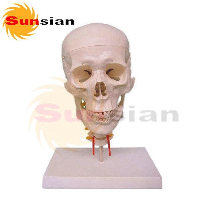 Teaching Human Skull Cervical spine,Lifesize 1:1 human anatomical skull model,model of the medical skull