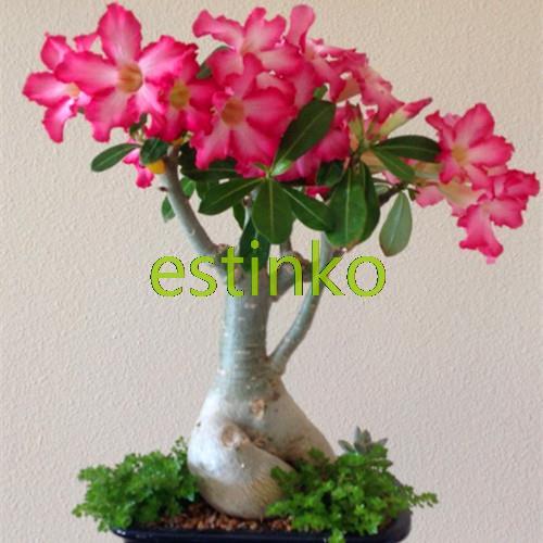 ахименесы ризомы комнатные цветы бесплатная доставка