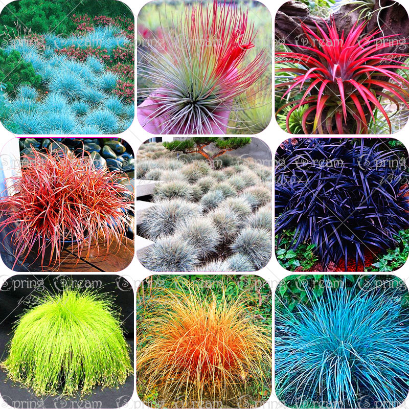 100pcs bag blue fescue grass seeds festuca glauca for Hardy grasses for the garden