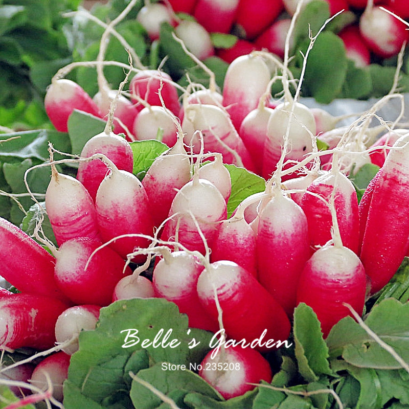 100pcs Heirloom Mild Spicy Breakfast Radish Seeds Rare Imported Oganic Red Radish Home Garden Fruit Vegetable Seeds