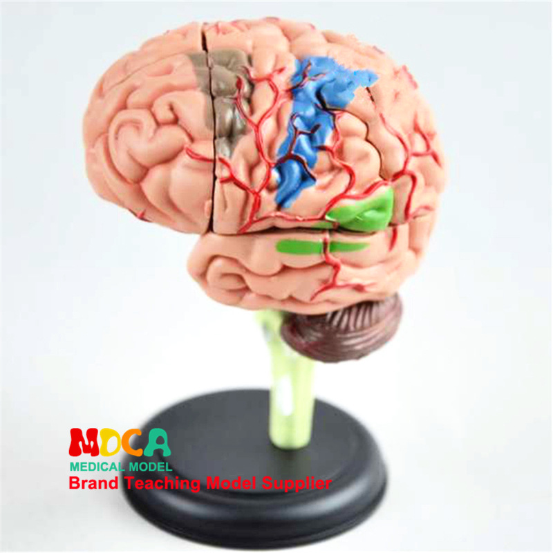 human organ 4D Brain Assembly model Medical teaching equipment Bioanatomical model Manikin