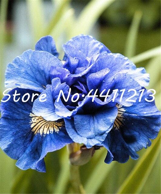 Rare Heirloom Iris Bonsai Perenne Fiore flores, colori misti, Iris fiore, bonsai piante da fiore FAI DA TE giardino di casa-200 pcs