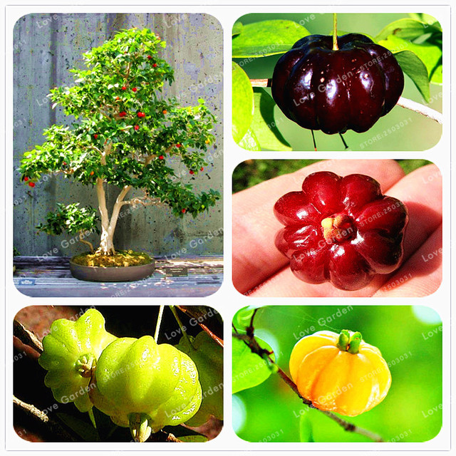 10 Pcs bag Suriname Cherry Bonsai Balkon Taman Buah Bonsai Pot Tanaman  Bonsai Hijau Cherry 19c85b90e8