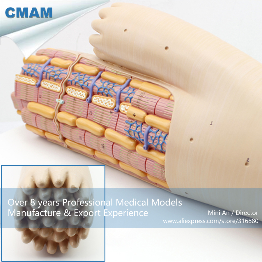 CMAM HEART17 Smooth Muscle Anatomical Enlarged Medical Anatomical Model