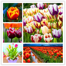10pcs/bag tulip seeds Rare bonsai flower seeds beautiful mixed color tulips potted perennial home gardens tulip plants