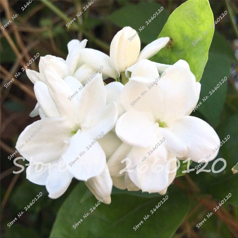 Unduh 920+ Gambar Bunga Melati Arab Terbaik