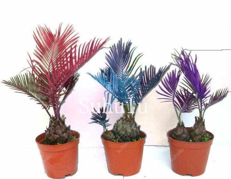10 pçs/saco Colorido Cycas Bonsai, Sago Palmeira Ao Ar Livre Planta, Árvore Cycas Bonsai, a Taxa de Brotamento de 97% Rara Planta Em Vaso Para Casa