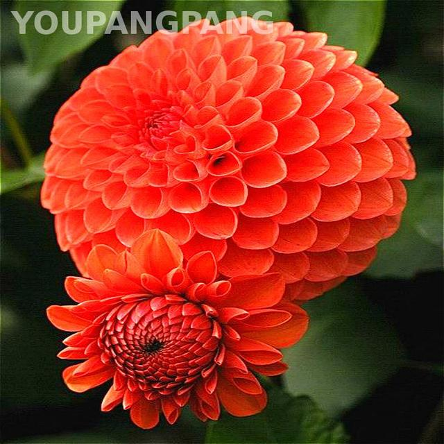 200 Pcs / Bag Dahlia Flower plants Mixed Colors Dahlias bonsai For Home Garden Decoration Diy Plant Bonsai Pot Sementes Hot Sale
