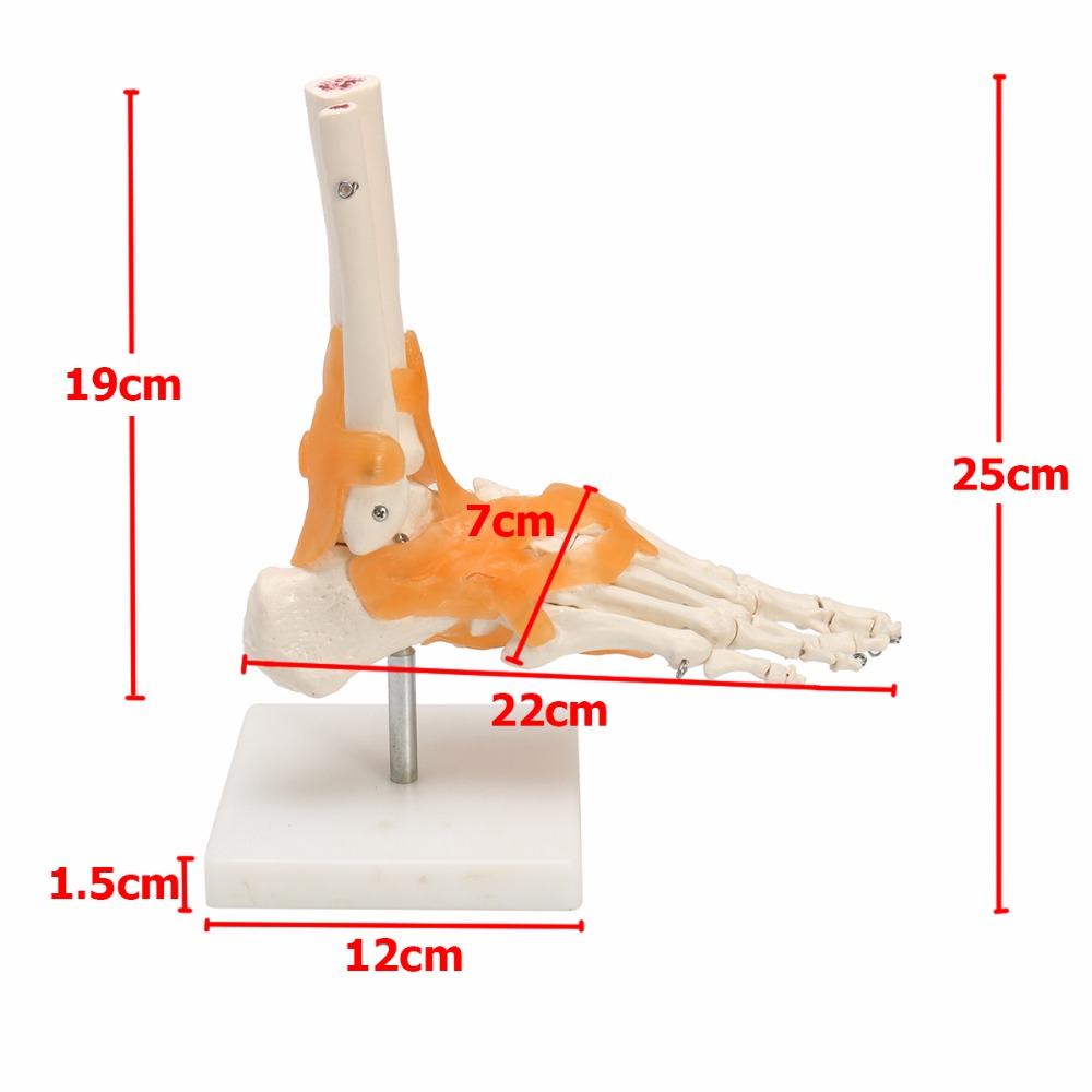 Human 1:1 Skeleton Ligament Foot Ankle Joint Anatomi cal Anatomy ...