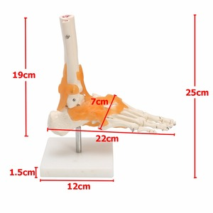 Image 3 - Human 1:1 Skeleton Ligament Foot Ankle Joint Anatomi cal Anatomy Medical Model Human Statues Sculptures High Quality