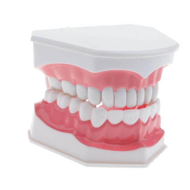 Adult Dental Teeth Model and Toothbrush with Removable High-Grade Teeth Teaching Study Model Oral Care