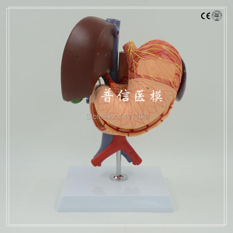 Free shipping&human Liver gallbladder pancreas duodenum spleen ...