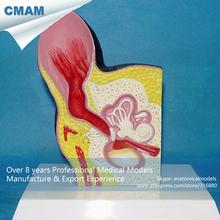 CMAM-A17 Section Dog Ear Anatomy / Health Canine Ear Model – Expansion Model of Dog Ear, Medical Animal Skeleton Anatomy Model