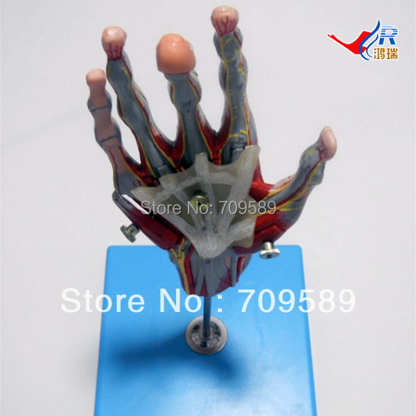Deluxe Muscles of Hand with Main Vessels & Nerves, anatomical hand model economic half head with vessels model anatomical head model with brain nerves vascular muscles and vessels