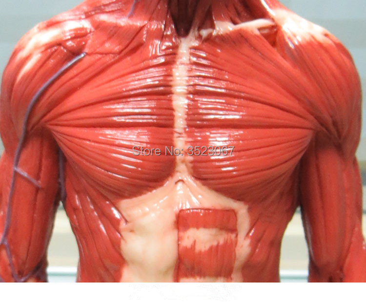 Aliexpress Buy Male 16 Anatomy Fig V3 Superficial Muscle