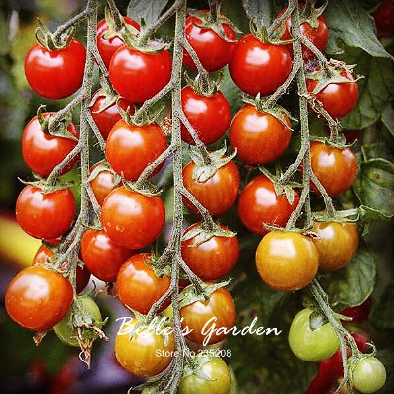 100pcs Tomato Seeds Suncherry Premium Sweetest Cherry Home Garden Fruit Vegetable In Bonsai From On