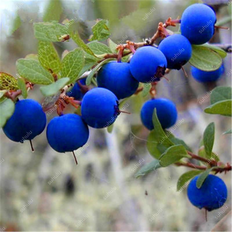New! 100 pcs Perennial Blueberry Bonsai Edible Fruit Bonsai Indoor Outdoor Available Ornamental Bonsai Plants for Home Garden