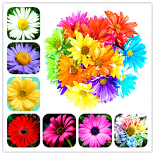 100Pcs/Bag Rainbow Daisy Daisy Seeds Rainbow Chrysanthemum Bonsai Flower Seeds Natural Beautiful Potted Plants For Home Garden