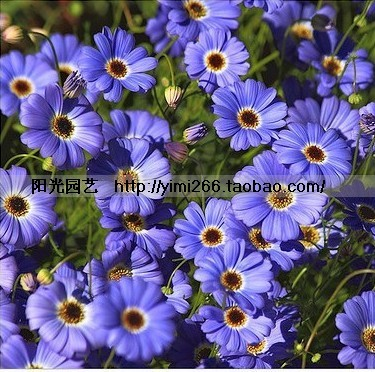 Bag 6 e006 yukako 5-color packing flower seed