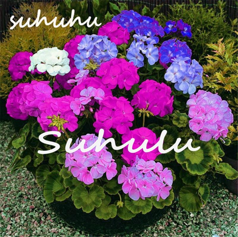 venta caliente unids geranio pelargonium semillas raras semillas de flores perennes flor planta resistente planta