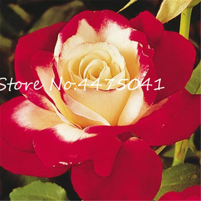 Rainbow Rose Seeds (1000 Pieces)