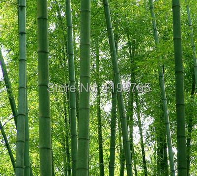 fresh gigante moso semillas de bamb para jardn de diy artculos