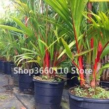 Hot sale! bonsai tree Bamboo Phyllostachys Pubescens Rare Giant Bambusa Lako Tree For Home Garden Plant