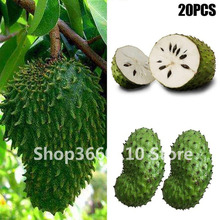 Soursop Fruit (Graviola Annona Muricata) Sweetsop Bonsa Delicious Fruit Bonsa Sugar Apple Annona Tree Bonsa Plant In Bonsai 10 bags bag cherimoya fruit pot plant plant family bonsai plant health sugar apple sweetsop annona tree plant