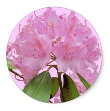 1.5inch Pink Rhododendron Flowers Classic Round Sticker