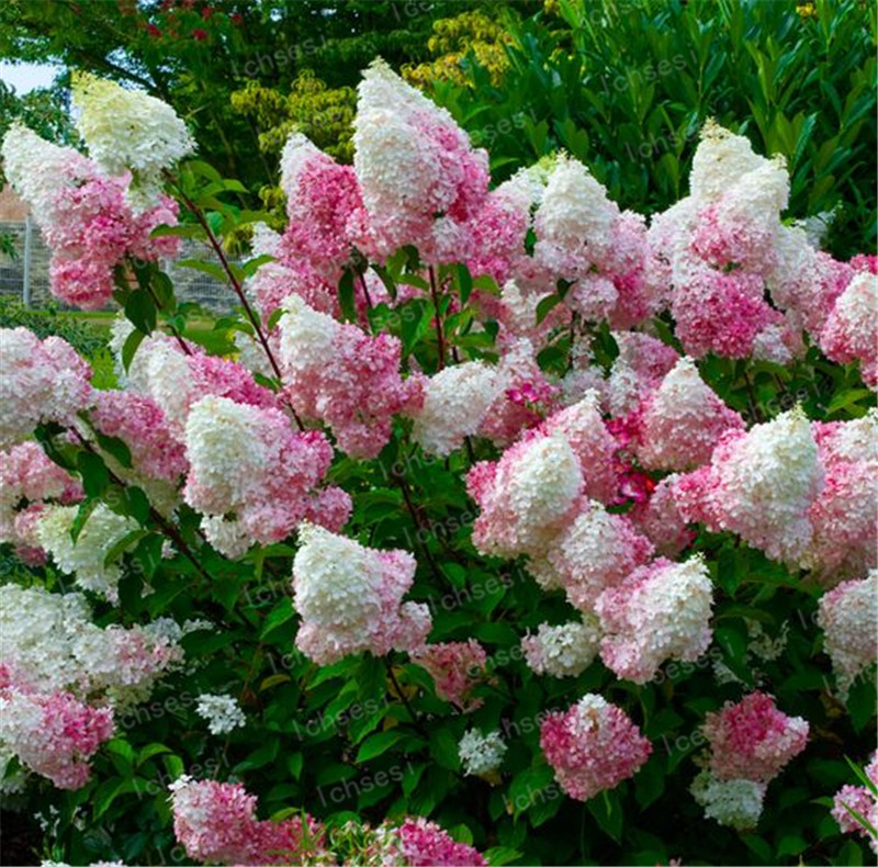 Image 4 - 20pcs/Cone hydrangea  bonsai perennial flower flores for wedding party plant for home and garden-in Bonsai from Home & Garden